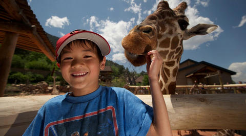 Young boy stroking giraffe at the zoo